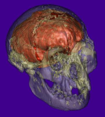 Reproducción virtual del cráneo de la nueva especie encontrada en la Isla de Flores, Indonesia, conocida como 'homo floresiensis'.