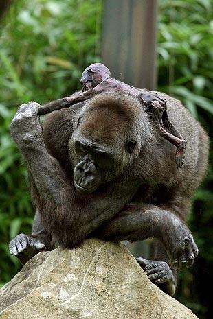Apoyada sobre una roca, la gorila Gana coge de la mano a su cría muerta. Claudio murió hace pocos días por causas desconocidas. EFE