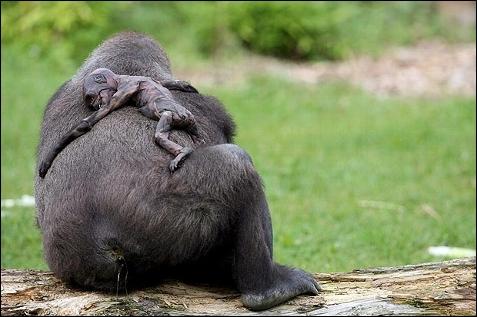 ... de: http://www.publico.es/ciencias/144864/el-luto-de-una-madre-gorila