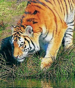 Asia pierde el 96% de sus tigres salvajes en 20 años