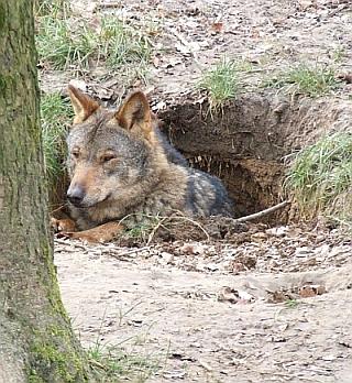 El número de lobos en España oscila entre 1.500 y 2.000. GÉRARD  VAN DRUNEN