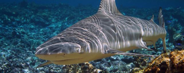 El tiburón punta negra, habitante de los arrecifes de coral tropicales, puede ser una de las especies afectadas por el aumento de las temperaturas. KYDD POLLOCK