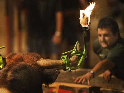 Cada año se celebran en España casi 20.000 festejos populares con el toro como protagonista principal. JAVIER SALAS