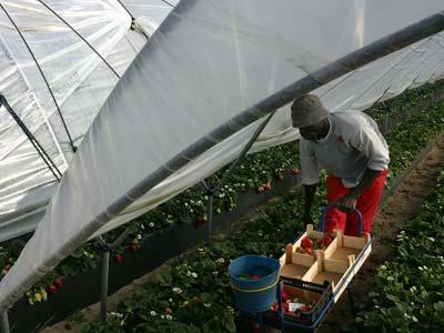 Los empresarios agrícolas tienen que recurrir a los inmigrantes para la recogida de la fruta. LAURA LEÓN