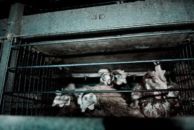 Gallinas en una jaula. FOTO: IGUALDAD ANIMAL