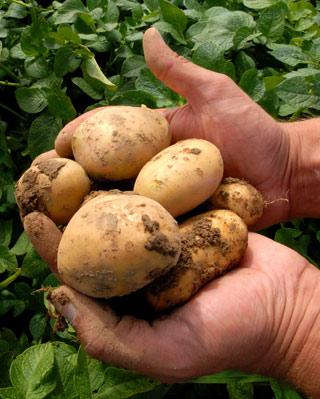 Patatas Fortuna, modificadas genéticamente. -BASF