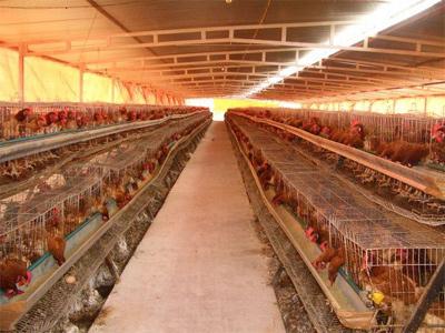 Una granja de gallinas ponedoras.