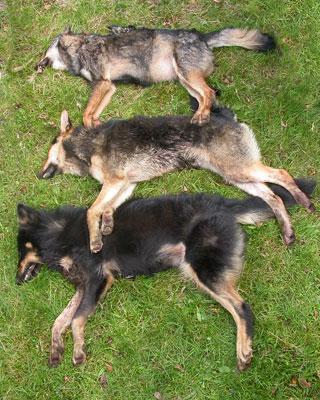 Un lobo puro (arriba) y dos híbridos sacrificados en Penouta (Asturias)-
