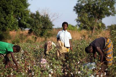 Niños cosechando algodón en Burkina Faso.-