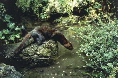 Se calcula que menos de 500 ejemplares de visón europeo sobreviven en España, repartidos en la cuenca alta del río Ebro.-