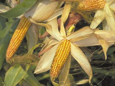 Mazorcas de maíz transgénico.