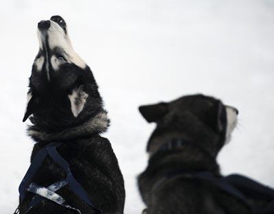 Dos perros huskie.