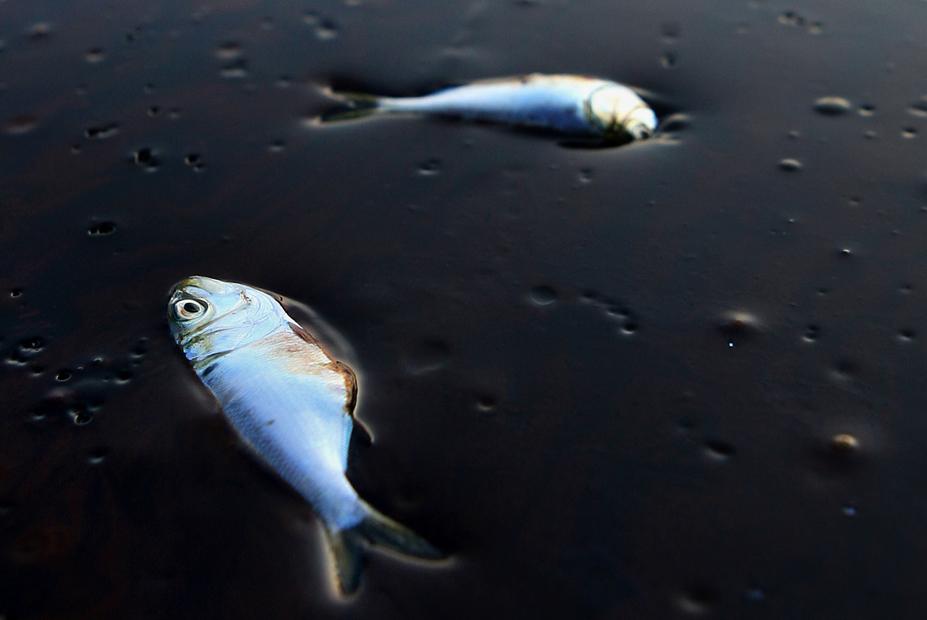 Peces muertos por desastre de 'Deepwater Horizon' en Luisiana. 20 de junio de 2010.