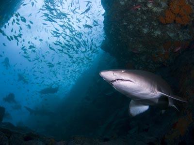 En la imagen, un tiburón toro surca las aguas del Mediterráneo.