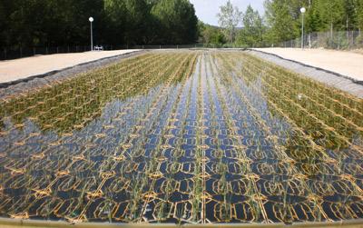 Juncos para potabilizar el agua en plantas depuradoras 1