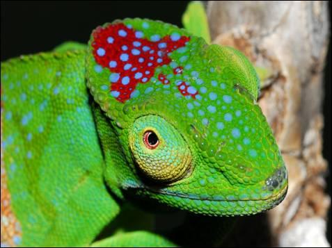 La WWF descubre 600 nuevas especies en Madagascar, una de ellas es  el 'Furcifer timoni'. El descubrimiento de este llamativo camaleón fue  muy sorprendente, ya que esta área de la isla ha sido muy estudiada  durante muchos años.