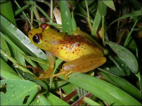 La nueva especie de rana 'Boophis bottae' se encuentra en la zona  oriental de la selva de Madagascar a 800-1.000 m sobre el nivel del mar.  Esta especie endémica está amenazada de extinción debido a la  destrucción de su hábitat por la agricultura, la extracción de madera,  el pastoreo y la expansión de los asentamientos humanos.