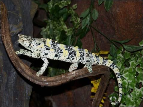 'Calumma tarzan', es una nueva especie de camaleón descubierto en  2010.  Los científicos la bautizaron en honor a Tarzán, con la esperanza de que  su famoso nombre sirva para que los hombres tomen conciencia y se  esfuercen en la conservación de esta especie y su hábitat, ambos muy  amenazados.