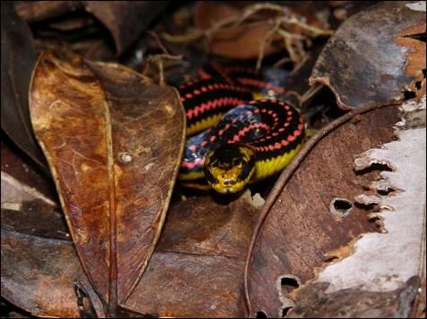 Se sabe que esta serpiente 'Liophidium pattoni' se alimenta de  lagartos y caza en toda la selva pequeños animales. A pesar de estar en  un área protegida, esta zona de la selva tropical se ha fragmentado  debido a la actividad de los humanos, en particular el aumento de la tala ilegal del palo de rosa, una madera preciosa destinada al  mercado chino.