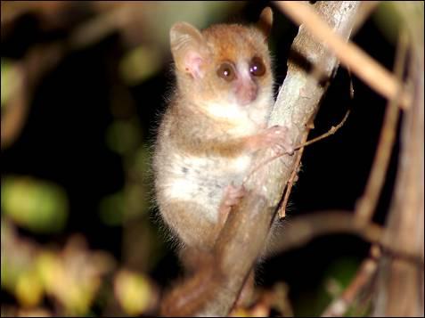 Entre la lista de nuevos lémures están las nuevas especies de  lémures ratón, los primates más pequeños del mundo. Por ejemplo, 'Berthae Microcebus', descubierto en 2000, es el más  pequeño de los lemures ratones y los más pequeños del mundo con una  longitud corporal media de 92 milímetros y un peso de 30 g, se encuentra  en el Parque Nacional Mitea Kirindy de la zona occidental de  Madagascar.