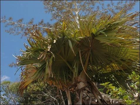 La palmera Tahina ('Tahina spectabilis'), de la que se han  encontrado menos de cien ejemplares en una pequeña área del noroeste de  Madagascar,  donde crece en bosques bajos, estacionalmente secos o matorrales que  pueden inundarse durante la temporada de lluvias, a los pies de las colinas de piedra caliza muy  erosionadas. El nuevo género no guarda relación con cualquier otra de las 170  palmeras de Madagascar y está más estrechamente relacionado con tres géneros del  sudeste asiático.