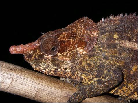 'Calumma crypticum'. Este camaleón, hallado en 2006, pertenece al  género Calumma, endémico de Madagascar. Se sabe tan poco de ellos que se los ha confundido con otros similares.  De ahí su apellido de crypticum (críptico).