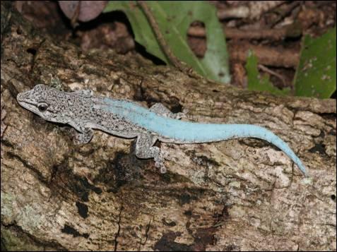 En 2009, los científicos descubrieron una nueva especie de gecko  con algunas notables habilidades de transformación. La nueva especie, de la que sólo han encontrado un especimen, tiene una  coloración gris-marrón tierra semejante a la corteza de los árboles, que  los científicos creen que provee a la especie de un camuflaje eficaz  para escapar de las aves y otros depredadores y es quizás la razón por  la cual la especie no ha sido descubierta antes. Durante el cortejo, la  'Phelsuma Borai' puede cambiar rápidamente el color, de un sutil marrón a  un colorido azul brillante.
