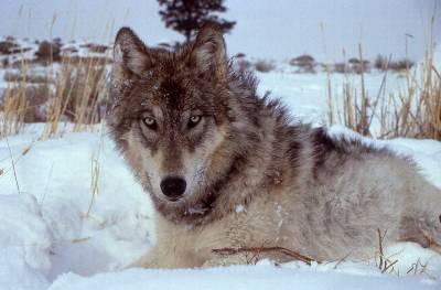 El lobo ocupa la cúspide del ecosistema del Parque Nacional de Yellowstone, en EEUU.