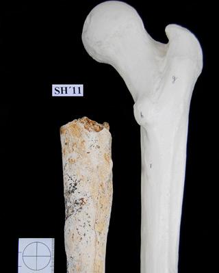 Descubren en Atapuerca un fémur de un adulto en la Sima de los Huesos.