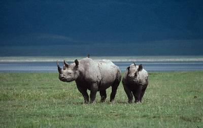 El rinoceronte negro es uno de los animales más amenazados del planeta.