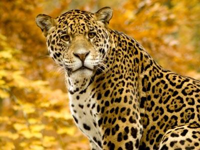 El jaguar afronta su cuenta atrás.