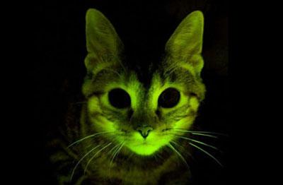 Uno de los gatos modificados genéticamente.- Clinica Mayo