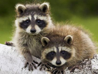 Una pareja de mapaches.