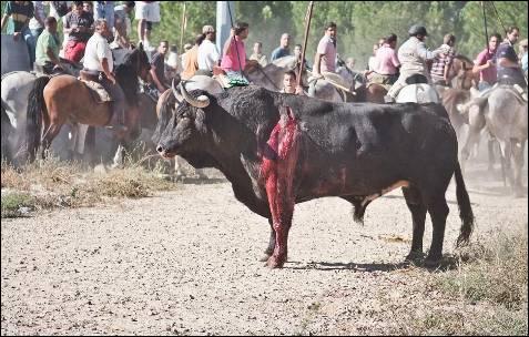El toro presenta una herida profunda en su costado izquierdo.