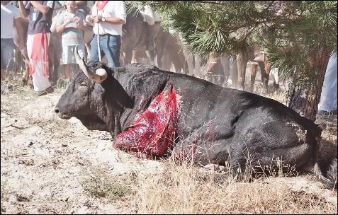 El toro es incapaz de levantarse.