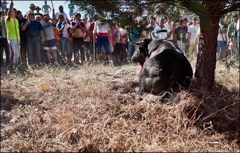 El toro se desangra ante la mirada de los participantes.