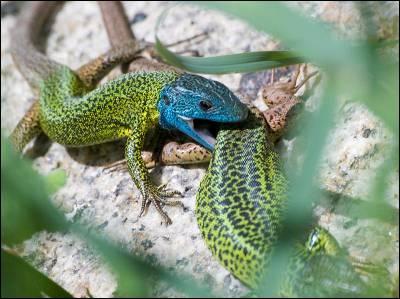 Reptiles y anfibios son los grupos de vertebrados más desprotegidos. En la imagen un lagarto verdinegro, especie endémica de la península Ibérica en riesgo de amenaza.