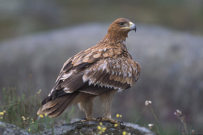 El águila imperial está en peligro de extinción.