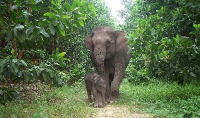 Lisa, una cría de elefante de Sumatra, junto a su madre en el Parque Nacional Tesso Nilo, en Indonesia.