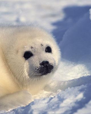 Un cachorro de foca arpa. thinkstock