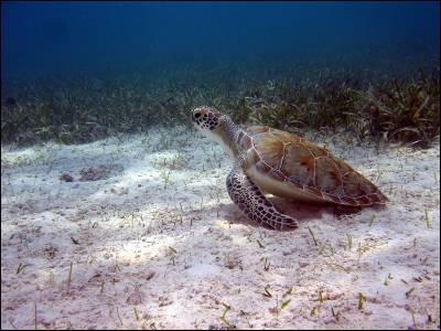 Rastrearon vía satélite a 145 tortugas.