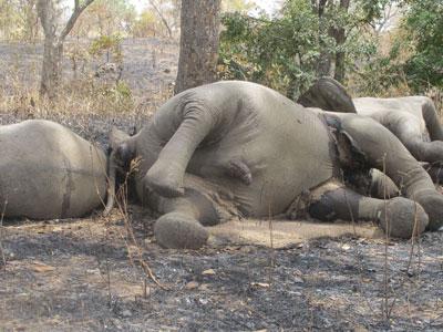 Un grupo de elefantes asesinados en Camerún.