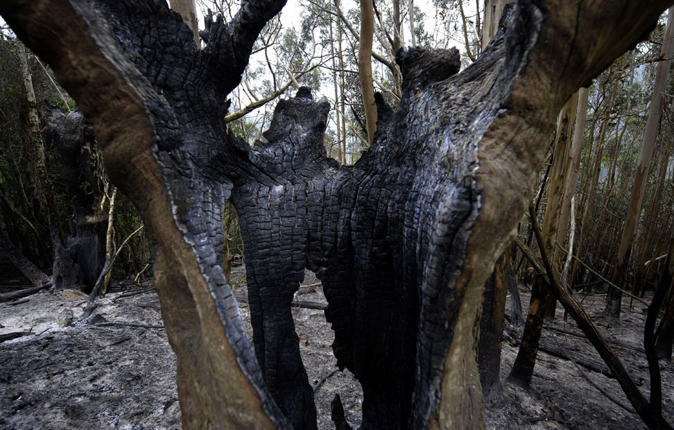 El tronco de un árbol calcinado en Fragas do Eume. AFP Photo