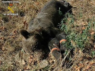 Imagen del oso asesinado difundida por la Guardia Civil