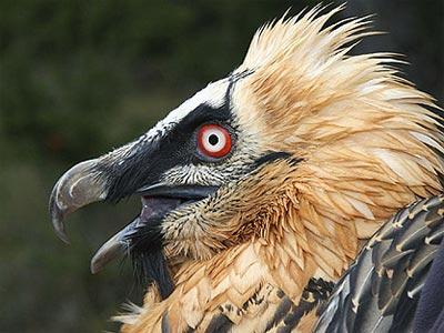 El buitre es una de las especies amenazadas en España. EFE (Archivo)