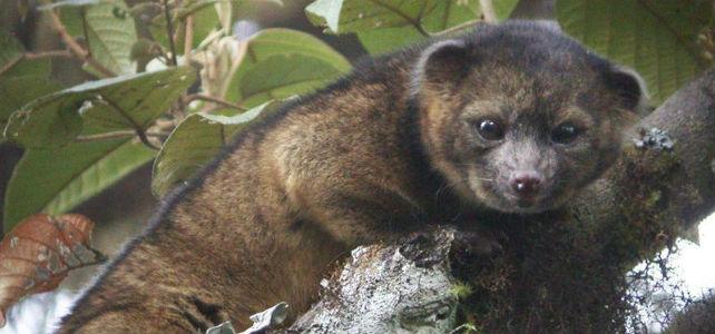 La nueva especie de mamífero descubierto, el olinguito. -EFE