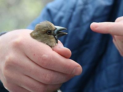 Una de las aves estudiadas en Chernobyl.