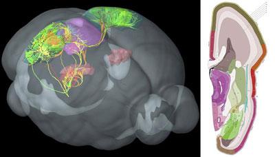 Fotografía facilitada por el Allen Institute for Brain Science de la transcripción de una parte del cerebro de un ratón.