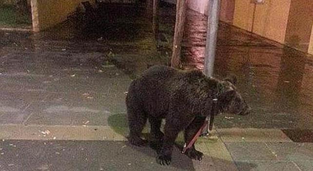 Imagen del oso abandonado por su su cuidador.