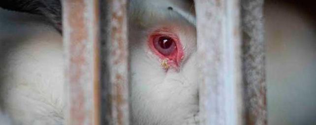 Igualdad Animal ha llevado a cabo una investigación de dos años para constatar el maltrato en granjas.